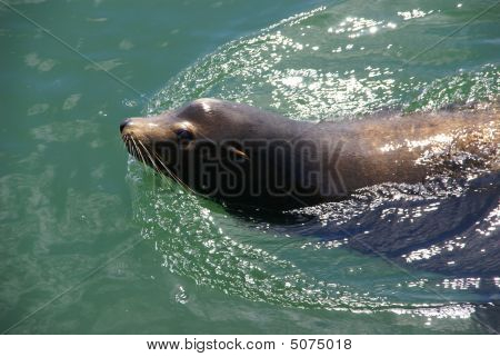 California Sea Lion, Swimming In Harbor