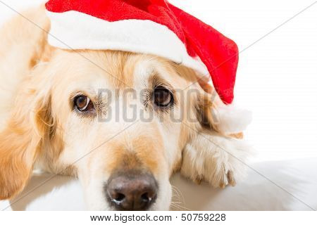 Golden Retriever With Christmas Hat