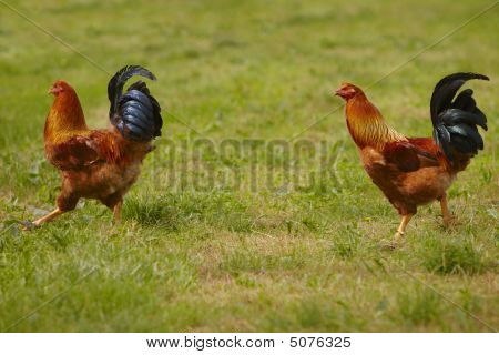 Two Capon