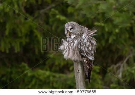 The Great Grey Owl (Strix nebulosa)