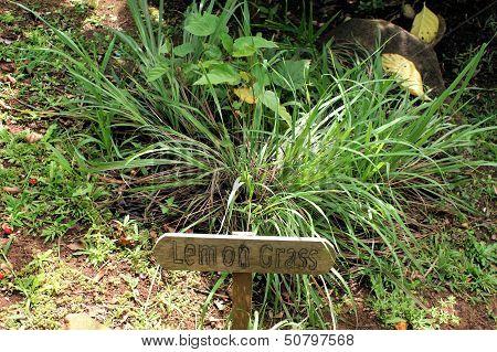 Lemongrass-plant