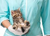 The small kitten recovers after an anesthesia on hands at the veterinarian poster