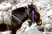 Portrait of donkey with heavy load at Everest Base Camp trek in Sagarmatha region Nepal, Asia poster