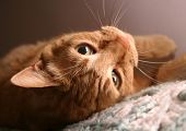 orange tabby cat, closeup of face, upside down. poster