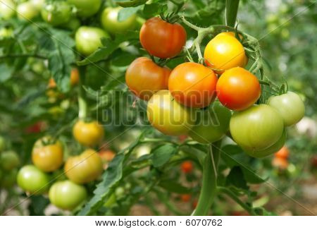 Bunches Of Tomatoes In A Greenhouse