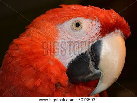 Red Pretty Macaw