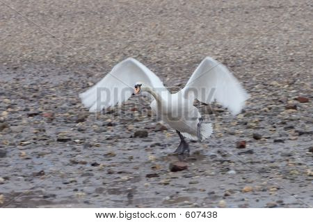 Swan Starting