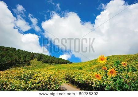 Mexican Sun Flower Field