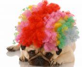 pug dog dressed up as a sad clown poster