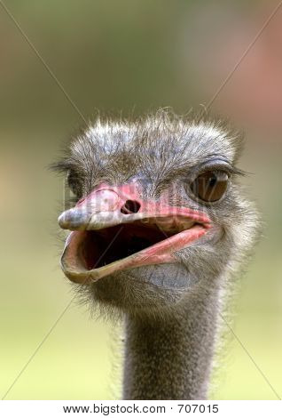 Portrait of an ostrich taken at an ostrich farm poster