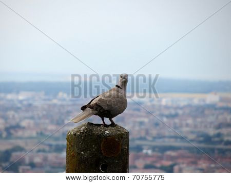 A curious collared dove on top of the world