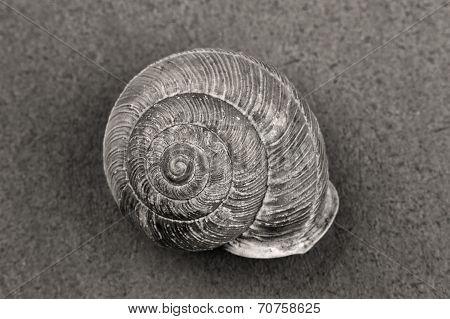 B&w Of Snail Shell.