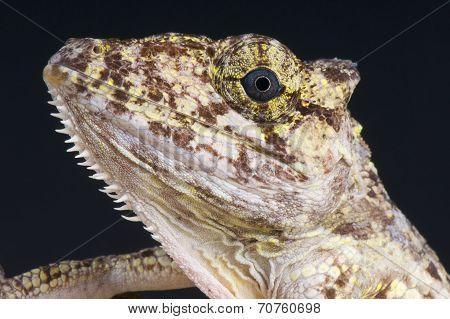 Chameleon Anole / Anolis porcus
