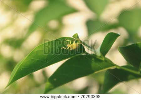 green weevil under the leaf