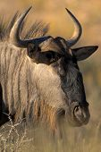 Portrait of Gnu poster