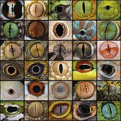 Reptiles have some of the most magnificent eyes in the animal kingdom. poster