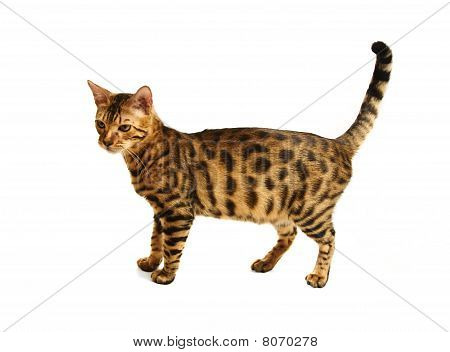 Bengal cat isolated on white background . poster