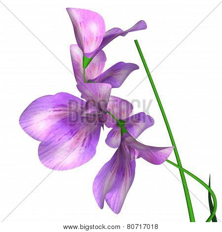 Sweet pea is a flowering plant in the genus Lathyrus in the family Fabaceae, native to Sicily, southern Italy and the Aegean Islands. poster