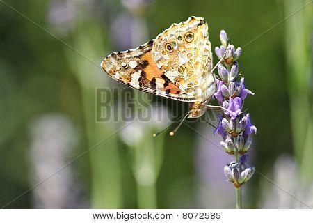 Schmetterling auf Lavendel flower