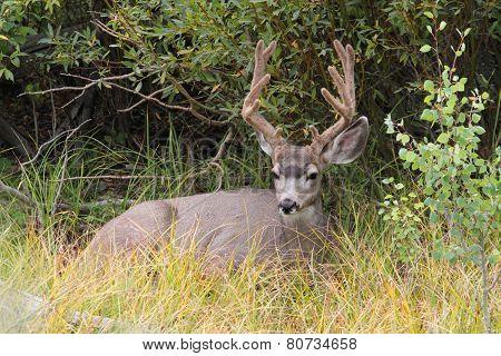 Mule Deer (odocoileus Hemionus) Buck