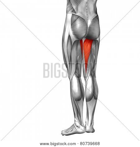 Concept or conceptual 3D adductor magnus human upper leg anatomy or anatomical and muscle isolated on white background
