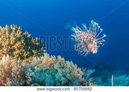 Lionfish on a tropical reef
