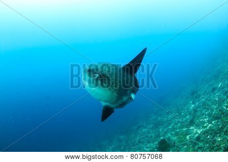 Oceanic Sunfish deep underwater