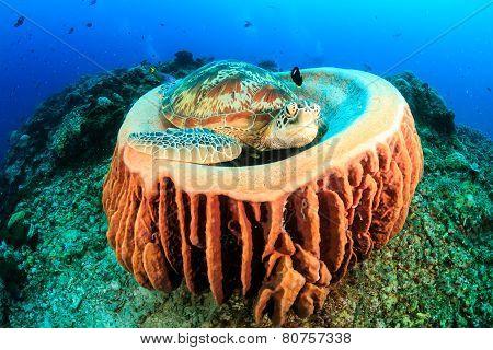Sea turtle resting in a sponge