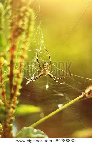 wasp spider at green field in evening sunshine