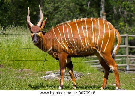 Antilope Eye Contact
