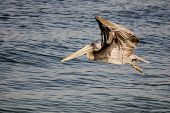 A brown pelican in flight is lit by the late afternoon sun against the background of bluish-steel water of Mission Bay in San Diego. Narrow depth of field - wngtips are out of focus. poster