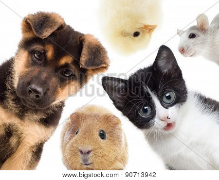 Puppy And Kitten And Guinea Pig