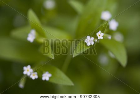 Myosotis Sparsiflora
