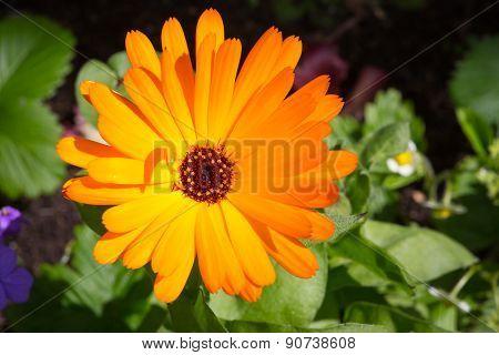 Bright Orange Flower Pot Marigold Calendula Officinalis