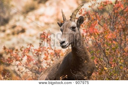 Bighorn Ewe In Fall Color
