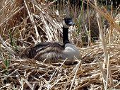 alert nesting goose poster