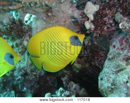 Golden Butterflyfish 2
