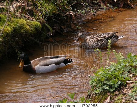 Mallard Ducks in a stream