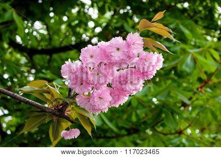 Delicate Pink Sakura Flowers On A Green Tree Crown