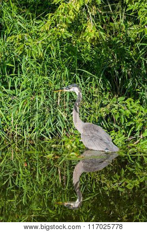 Heron hiding along the creek shoreline with extreme vegetation in the background