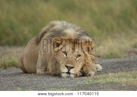 Male Lion Resting In The Serengeti National Park, Tanzania