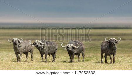 Four Cape Buffalo Bulls In The Ngorongoro Crater, Tanzania