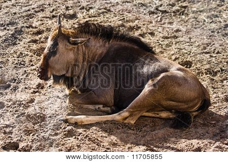 Blue Wildebeest or Brindled Gnu - Connochaetes taurinus - resting in late afternoon sunlight poster
