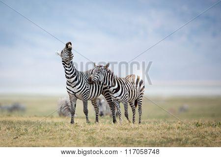 Two Plains Zebra Fighting In The Ngorongoro Crater, Tanzania