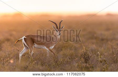 Adult Male Grant's Gazelle In The Serengeti, Tanzania