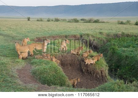 Pride Of Lions In The Ngorongoro Crater, Tanzania