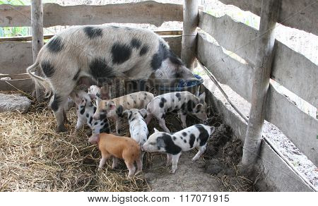 Sow And Seven Piglets