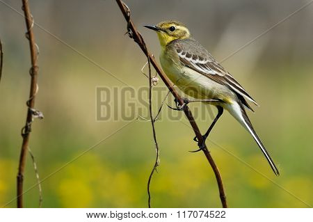 Perching Female Citrine Wagtail In Yellow Summer Meadow
