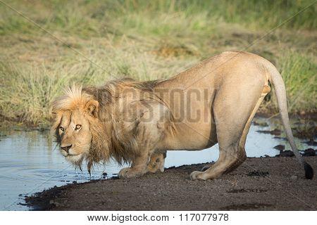 One Male African Lion Drinking Water, Serengeti, Ndutu, Tanzania