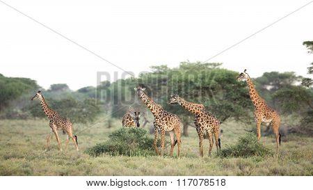 A Group Of Masai Giraffe In Ndutu, Serengeti, Tanzania